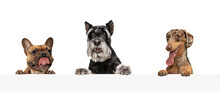 Collage Of Three Funny Dogs Different Breeds Posing Isolated Over White Studio Background.