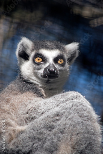 Fototapeta premium the ring tailed lemur is sitting resting