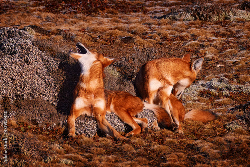 Fototapeta premium Ethiopian wolf, Canis simensis, pack in the nature. Bale Mountains NP, in Ethiopia. Rare endemic animal from east Africa. Wildlife nature from Ethiopia.