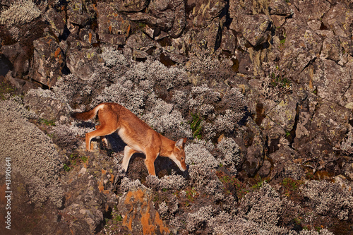 Fototapeta premium Ethiopian wolf, Canis simensis, in the nature. Bale Mountains NP, in Ethiopia. Rare endemic animal from east Africa. Wildlife nature from Ethiopia. Orange jackal fox, sunny day. Ethiopian wolf.