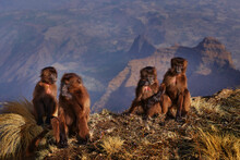 Group Of Young Monkeys On The Top Of The Hills. Gelada Baboon, Theropithecus Gelada, Simien Mountains NP, Monkey Behaviour, From Ethiopia. Cute Animal From Africa. Cute Endemic Mamm