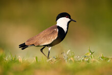 Spur-winged Lapwing Plover, Vanellus Spinosus, Sunset, Bird Evening Near The Water With Green Vegetation, Lake Awassa In Ethiopia. Wildlife Africa. Bird, Africa Sunset.