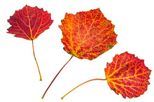 Red Aspen Leaves. Autumn Leaves On A White Background. Autumn Still Life.