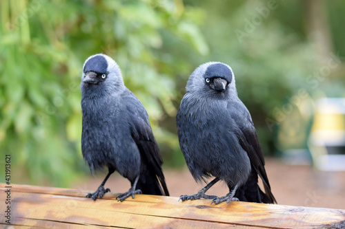 Fototapeta premium Closeup shot of two Jackdaws on a wooden railing