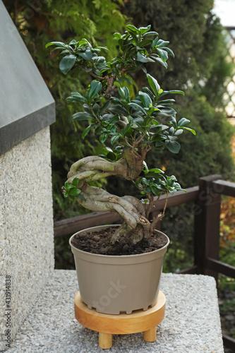 Beautiful potted Bonsai tree in garden. Landscape design