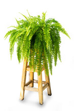 Beautiful Fresh Green Common Sword Fern Or Boston Fern ( Nephrolepis Exaltata (L.) Schott Cv. Bostoniensis ) Growing On Wooden Table, For Home Decoration, Isolated On White Background