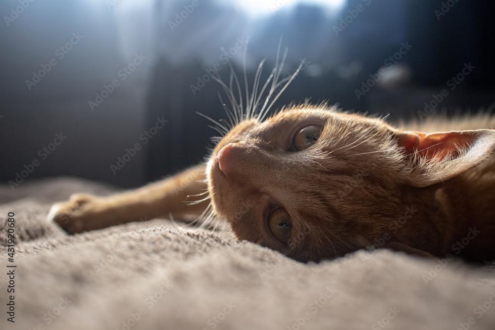 Fototapeta Red ginger cat