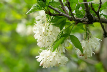 Georgian Plant Jonjoli Used As Pickled Food In Georgian Cuisine. Fresh Plant Jonjoli Blooming On Tree In Spring