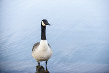 Canada Goose Stands By A Lake With Calm Water