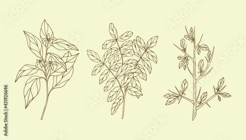 Fotografia Set of hand drawn essential oil plants