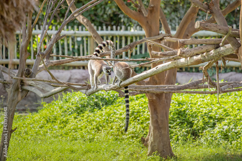 Fototapeta premium Two ring-tailed lemur or science name - Lemur catta interacting and having fun on a tree branch
