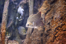 Scatophagus Argus, Or The Spotted Scat Is A Fish In The Scat Family Scatophagidae Swimming Among Branches, Stones And Other Fish Of Its Kind