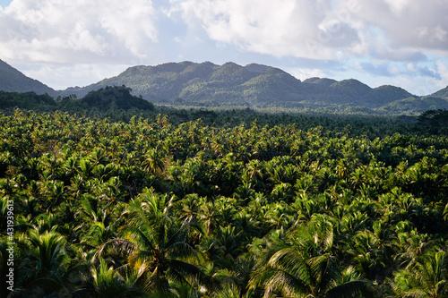 Fototapeta Tropical landscape. Big coconut palm trees plantation.