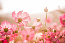 Cosmos Flowers Blooming In The Sunset