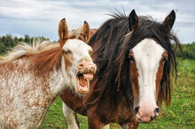 A Young Horse Makes A Funny Face While Its Mother Looks On