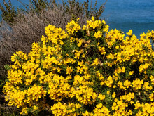 View Of Yellow Gorse Flowers