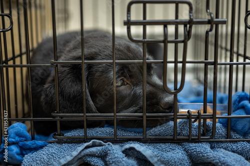 Cute Labrador Retriever Puppy in His Crate #431953437