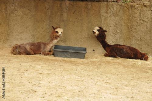 Naklejka premium camel in the desert
