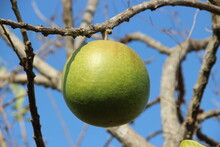 Bintaro Fruit (Cerbera Manghas)