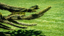 "Thorny Green Branches Of Araucaria Araucana, Monkey Puzzle Tree, Monkey Tail Tree Or Chilean Pine Tree On Blurred Lawn Background. Close-up. City Landscape Park ""Krasnodar"". Spring. Selective Focus."