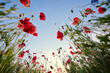 Beautiful summer day. Red poppy field.
