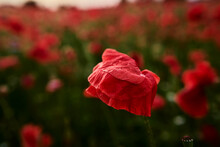 Close Up Of Red Poppy Flower On The Field.