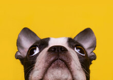 Head Of Boston Terrier Puppy Looking Up