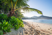 Palm Tree Growing On Baie Lazare Beach In Summer