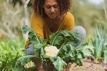 Woman With Freckle Picking Cauliflower In Vegetable Garden