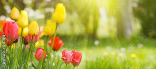 Tulpenblüten auf sonniger Naturwiese - fototapety na wymiar