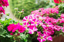 Pink Potted Petunias And Pelargoniums Blooming In Summer
