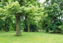 Germany, Saxony, Leipzig, Oak Trees Growing In Palmengarten Park