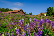 Purple Lupine Blooming In Springtime Meadow With Rustic Houses In Background