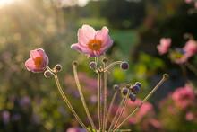 Fresh Anemone Flowers Blossoming In Garden