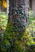 Tree Trunk Covered With Ivy Leaf And Moss In Forest