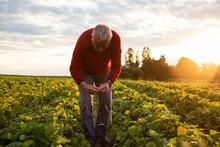 Senior Man Harvesting Strawberries In Field