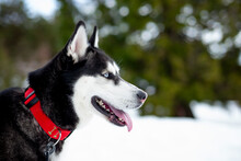 Siberian Husky Dog Looking Away On Snow Covered Field During Winter