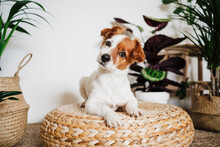 Cute Dog Resting On Ottoman Stool By Plant At Home