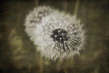 Dandelion(Taraxacumofficinale)seed Head