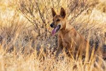 Portrait Of Lone Dingo (Canis Lupus Dingo) Sitting In Grass In Uluru-Kata Tjuta National Park