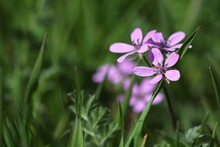 A Small Purple Wildflower Bloomed Among The Grass.