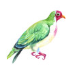 Watercolor colorful wild bird. White background.