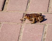 Common Frog Rana Temporaria, Sitting On Paving Slabs