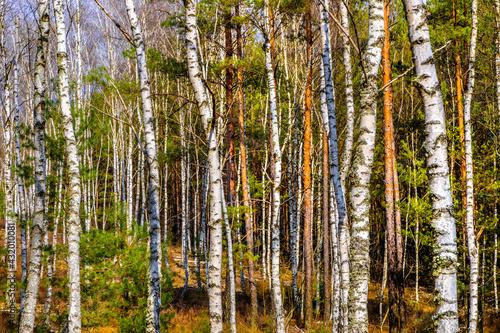 Obraz na plátně Early spring landscape of young silver birch forest thicket - latin Betula pendu