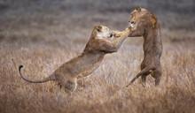 Lions, Lewa Wildlife Preserve, Kenya