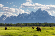 Scenic Landscape Image Of Bison In A Meadow With The Teton Mountain Range As A Backdrop, Grand Teton National Park, Wyoming.