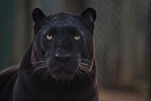 Portrait Of A Black African Leopard.