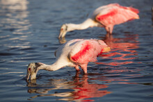 Roseate Spoonbills Forage In Eco Pond In Everglades National Park, Florida.