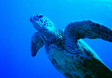 Kona, Hawaii: Sea Turtle Off Swims Diagonally Thru Frame Toward Surface In Blue Water