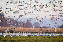A Large Flock Of Snow Geese Fly Above A Field - Fir Island, Skagit County, Washington State